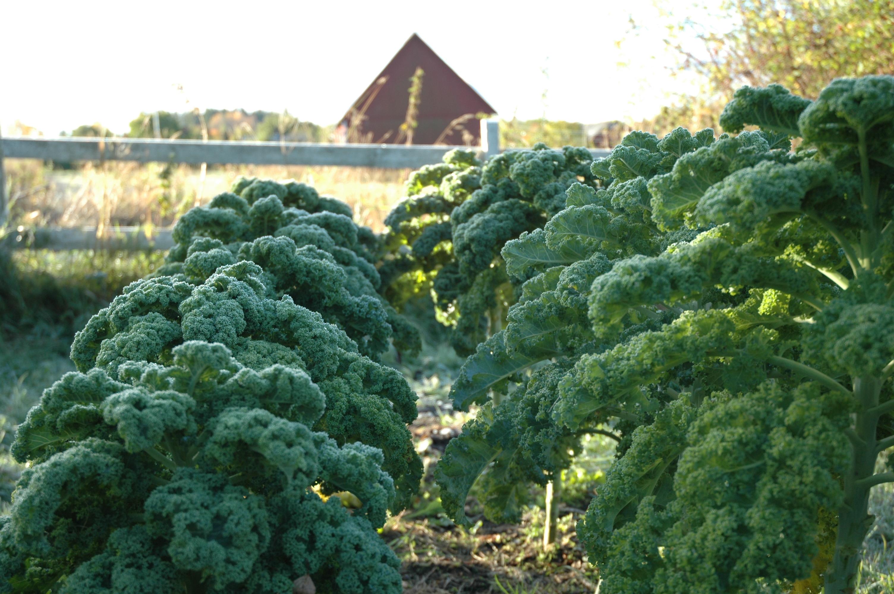 10-11-grönkål